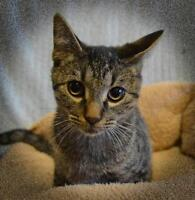 """Young Male Cat - Domestic Short Hair: """"Professor PuddinPop"""""""