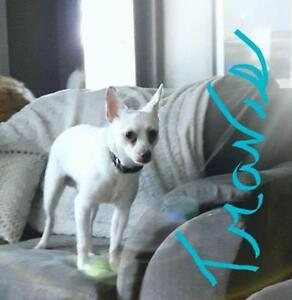 """Young Male Dog - Chihuahua: """"Travis"""""""