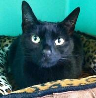 "Adult Female Cat - Domestic Short Hair-black: ""Pippa"""