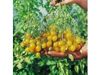 Llidi tomato plants - yellow