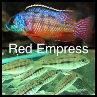 Electric yellows, electric blues, red empress, Maingano and more