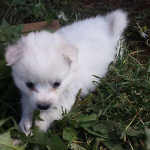 Miniature American Eskimo Pups- Boys and girls