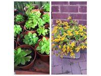 Sedum luteoviride plants