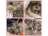 Exotic shorthair x british blue kittens