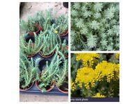 Sedum botanical plants