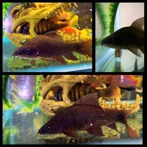 Black shark 12-15cm $20