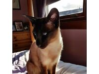 lost missing siamese cat around bloomfield gds area reward given if found lost 22 Sep16