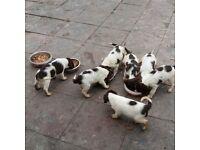 Springer Spaniel Puppies 8 weeks old