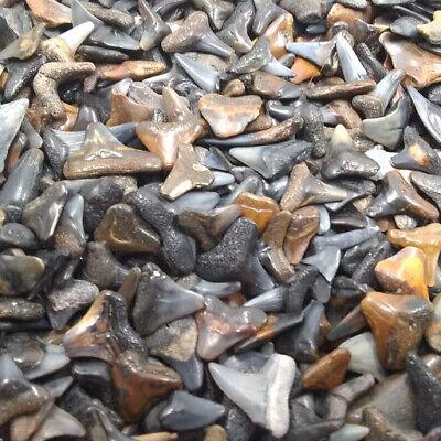 Lot of 100 Fossilized Shark Teeth, Shark Tooth Necklace PLUS 2 Bonus Items