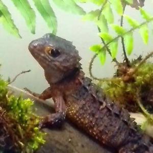 Female white eye croc skink