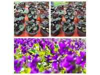 Sweet violet flowers plants