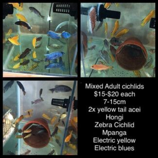 Mixed Adult cichlid for sale