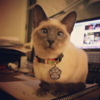 Neutered Blue Point Siamese looking for a good home!