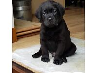 We are now taking deposits for our Adorable black lab pups