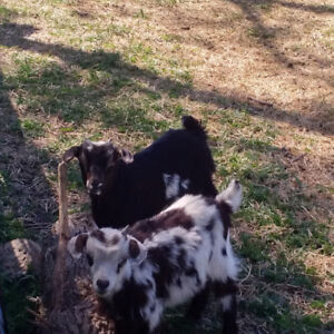 Fainting Goats -PRICE REDUCED