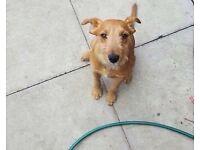 Lakeland terrier X
