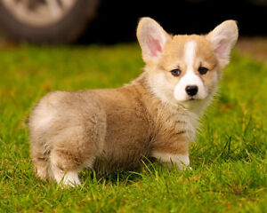 Looking for a pembroke welsh corgi to bring into our home