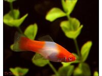 swordtail fish young