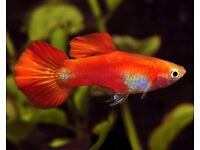 FOR SALE 10 ADULT MALE GUPPIES