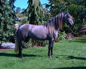 Andalusian Stallion At Stud-25% OFF!