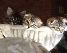 ** SCOTTISH FOLD & POINT KITTENS ** Westmeadows Hume Area Preview