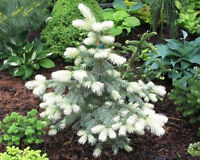 1-4 foot Colorado Blue Spruce at $9 a foot