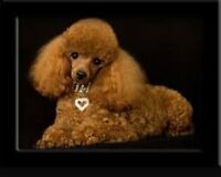 Looking for a toy poodle or toy Pomeranian
