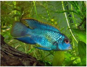 Electric blue acara for sale