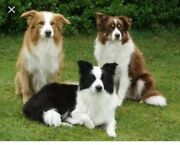 Border Collie pups wanted  Flagstaff Hill Morphett Vale Area Preview