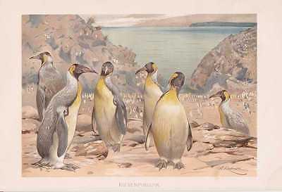 Königspinguin Riesenpinguin Pinguine Lithographie von 1890 Wilhelm Kuhnert