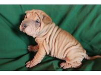 Shar pei puppy's for sale