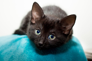 Lila rescue KITTEN to adopt VET WORK INC Thornlie Gosnells Area Preview