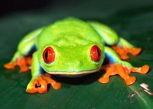 Red Eyed Tree Frogs ( captive bred)