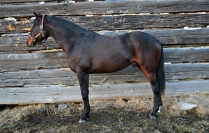 Stallion Standing Stud - $550 Inclusive Rate