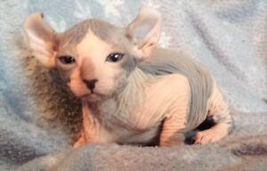 sphynx  (  efl cat )