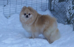 Pomeranian looking for a retirement home