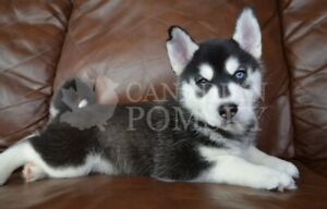 Husky | Adopt Dogs & Puppies Locally in Canada | Kijiji Classifieds