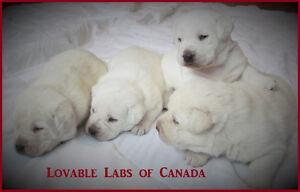 Beautiful CKC White English Labrador puppies Regina Regina Area image 5