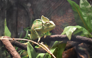 Veiled Chameleon - text me for quick sale
