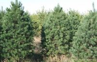 Christmas Trees & Greenery for sale