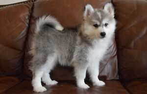 RARE Pomsky Puppies! HOLIDAY SALE!