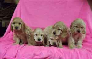 Cocker Spaniel puppies. Family Day Special !