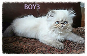 Persian Himalayan kittens (registered)ONE BOY LEFT