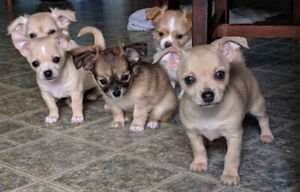 Chihuahua Adopt Dogs Puppies Locally In Ontario Kijiji Classifieds