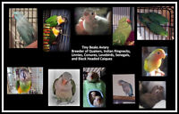 Birds Available at Tiny Beaks Aviary