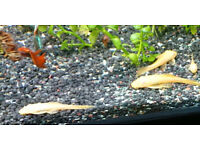 Tropical Fish - Bristlenose Pleco Catfish