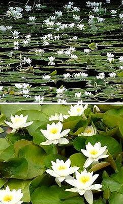 weiße Zwergseerose Nymphea tetragona Pflanzen für den Gartenteich Teichpflanzen