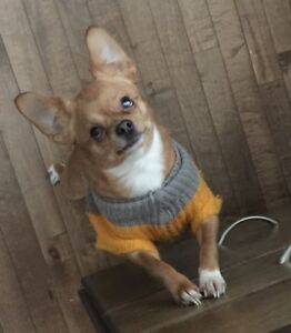Lost Chihuahua (Light Brown)