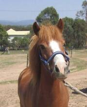 11'2hh welsh x chestnut pony mare 6 year old (sold pending viewin Tamborine Ipswich South Preview