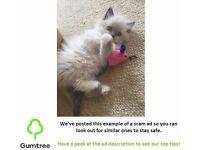 Beautiful Ragdoll kittens 8 weeks full pedigree -- Read the ad before replying!!!
